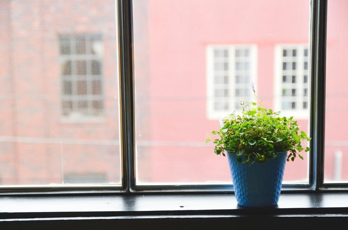 ikkuna kasvi